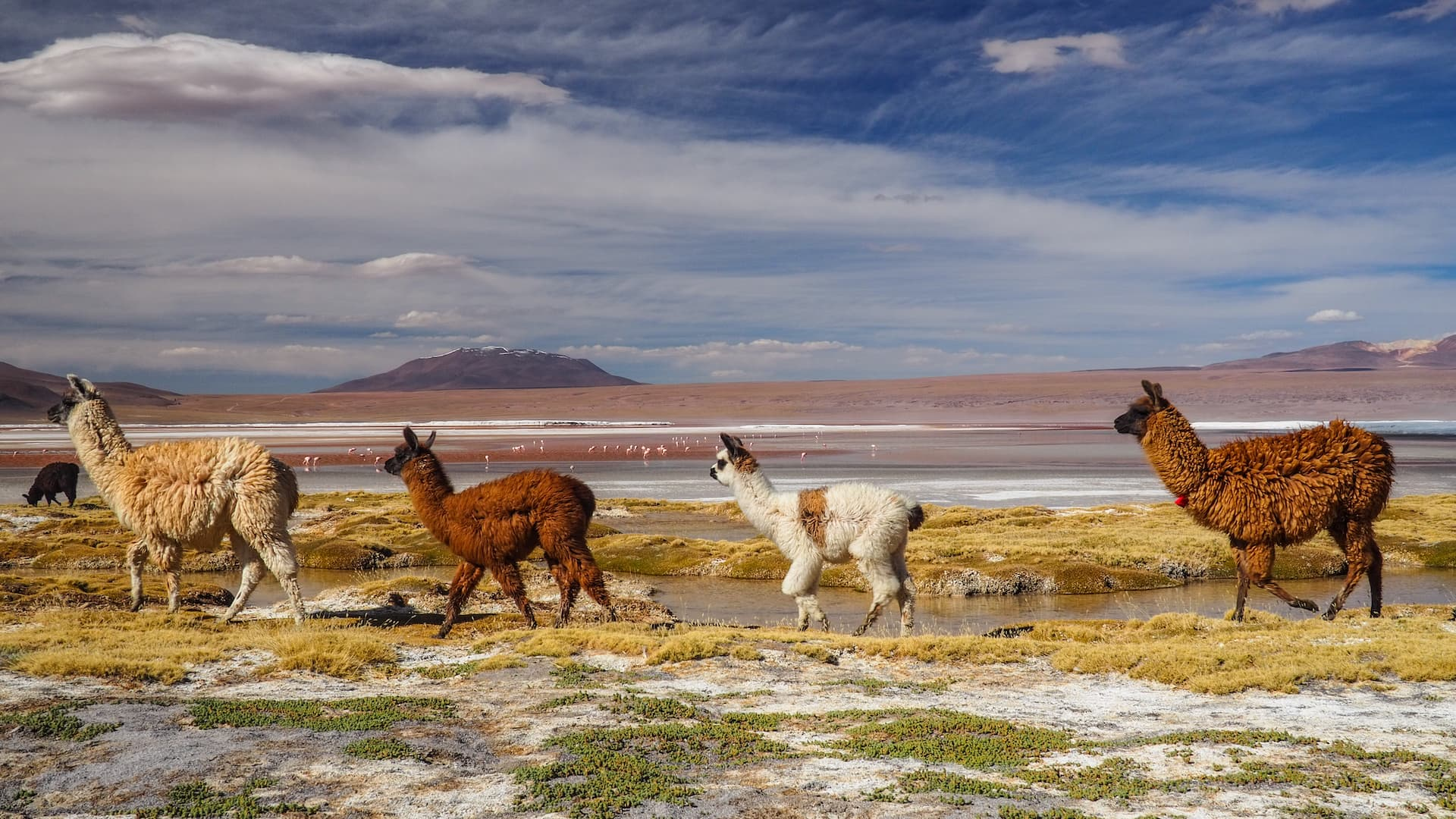 Four llamas walking in line from right to left with a pink lake and plateau-shaped mountain in the background