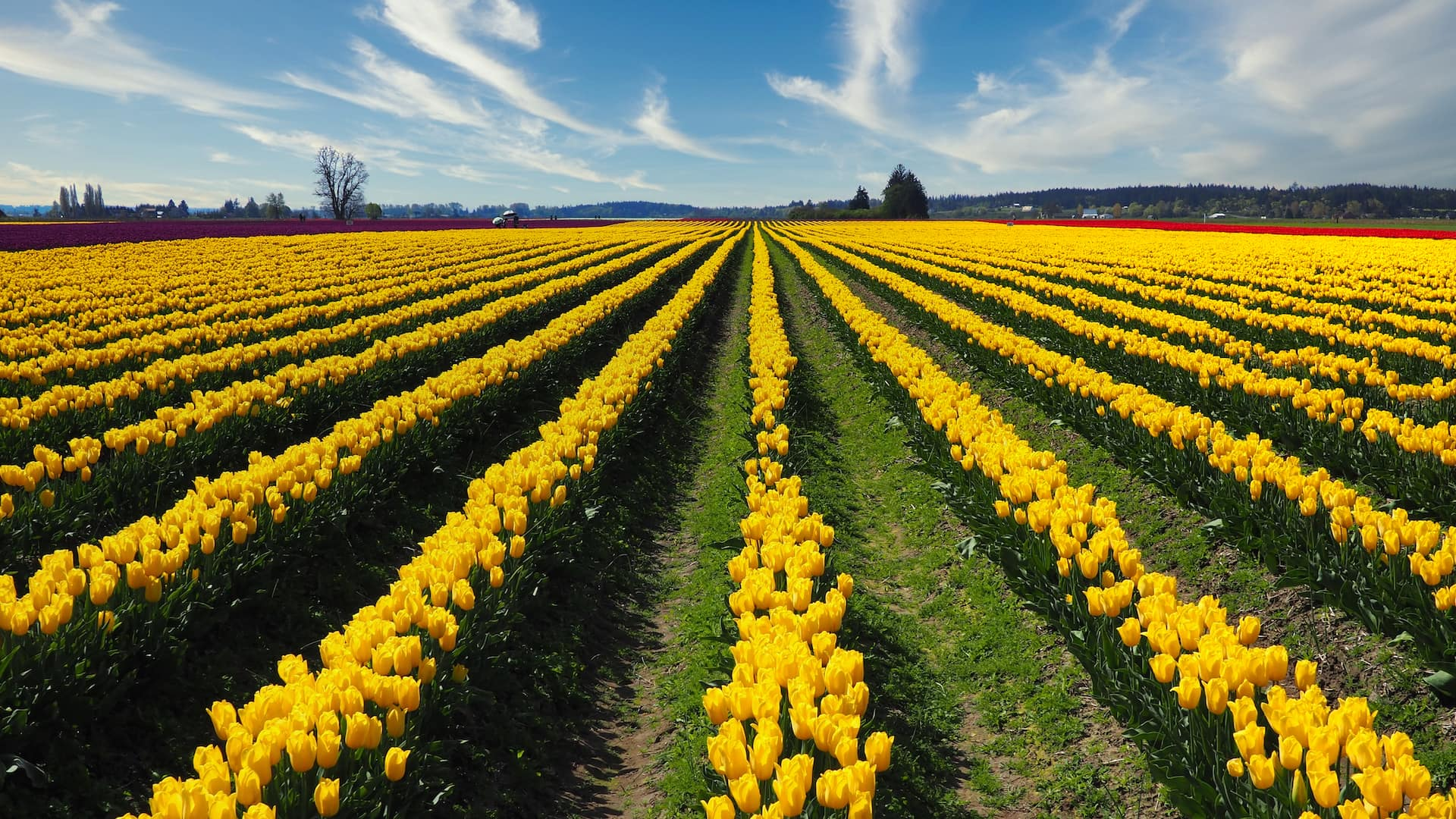 Rows of yellow flowers lead into the background