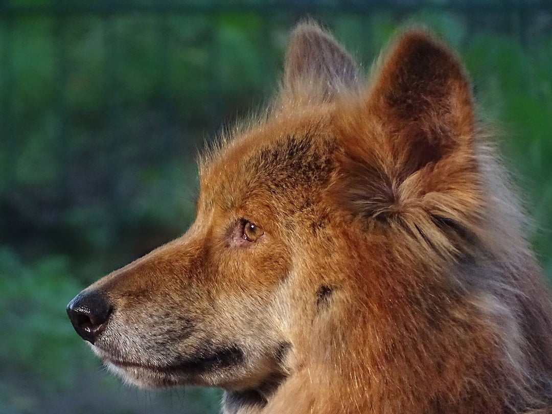 Headshot of a dingo
