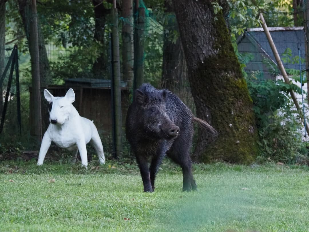 A black wild boar standing in a garden in front of a white stone statue of a dog