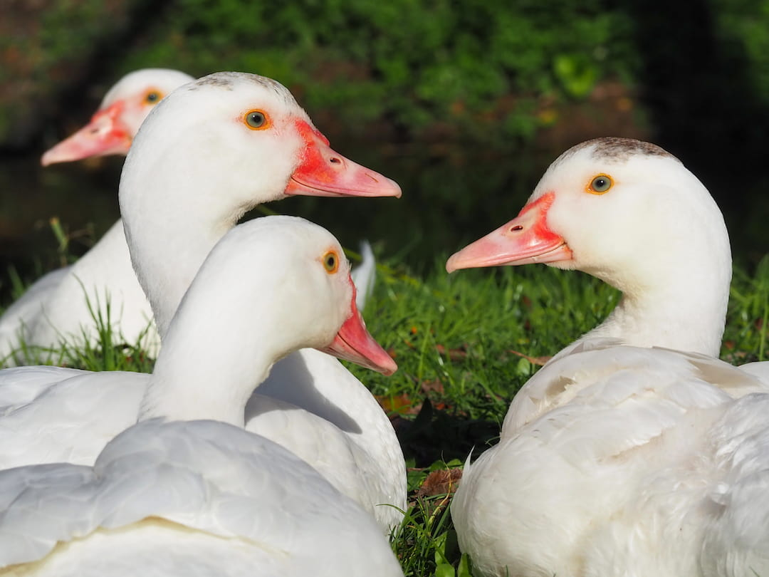 A group of white ducks with red beaks