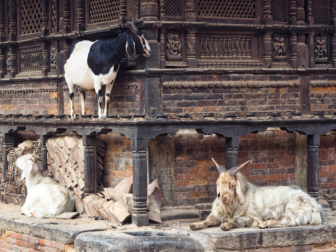 Three goats stand and sit on the side of a temple